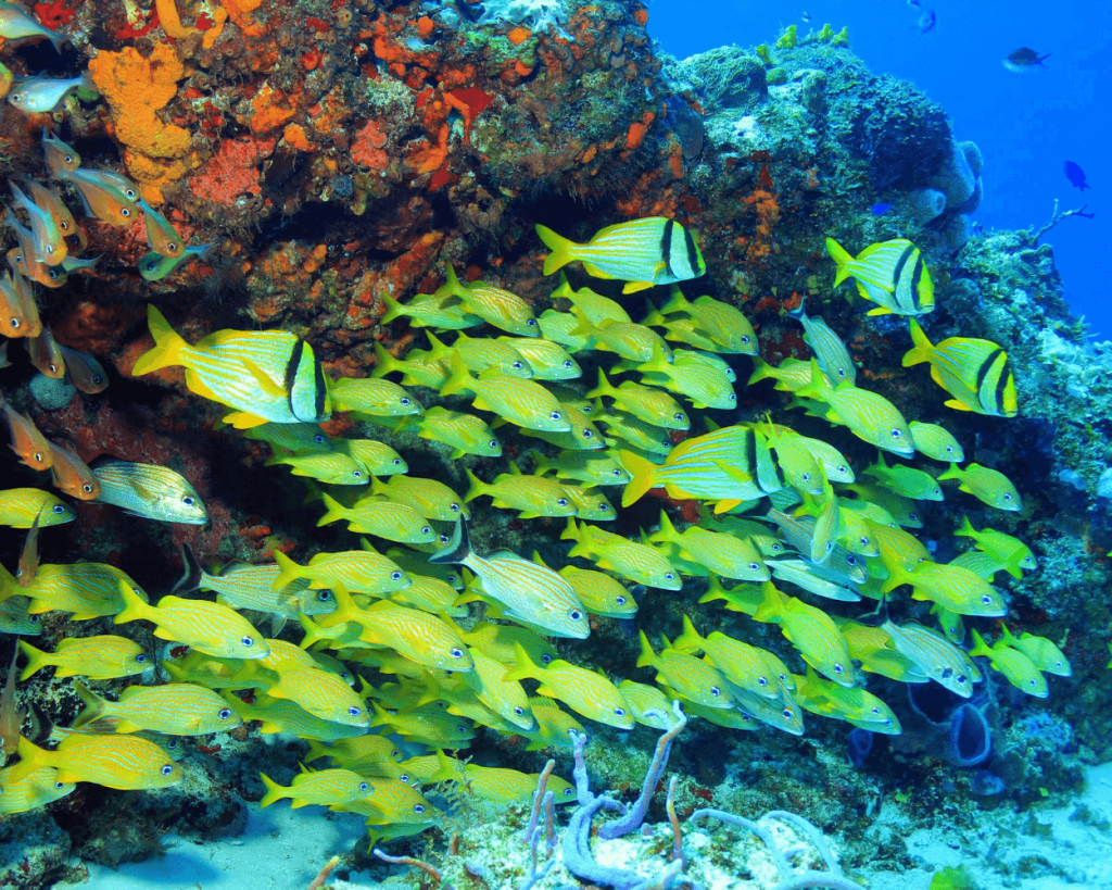 yellow fish swimming near coral off the coast of Cozumel Mexico