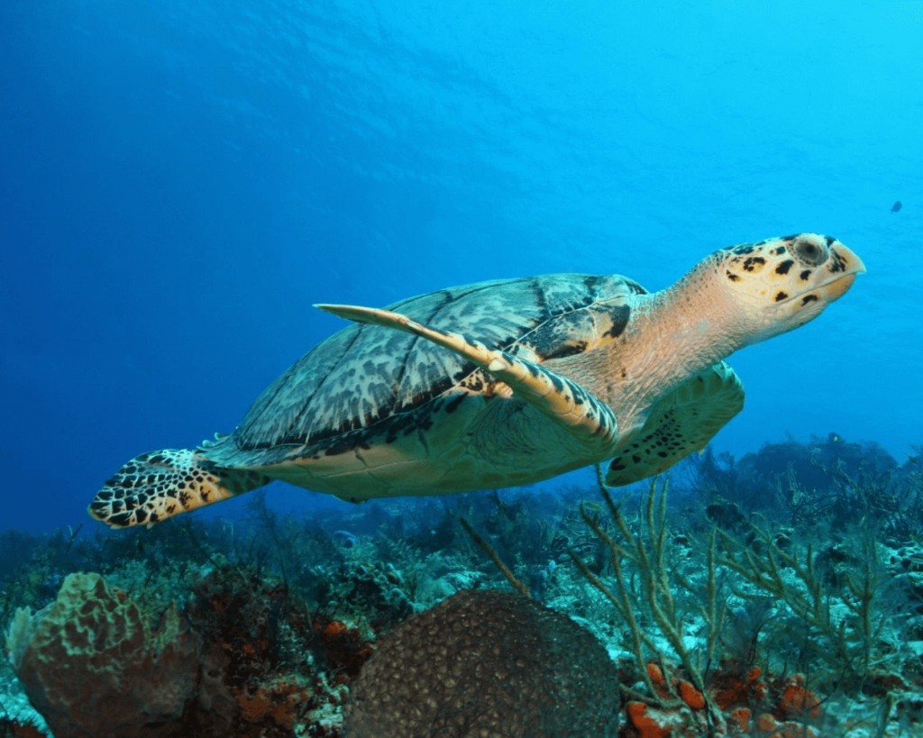 sea turtle above reef in Cozumel